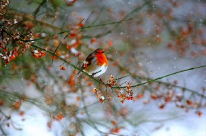 Robin and berries 2