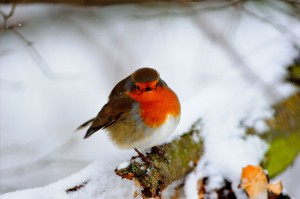 Close up of Robin in snow