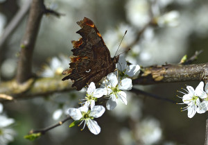 Comma Butterfly showing 'comma'.
