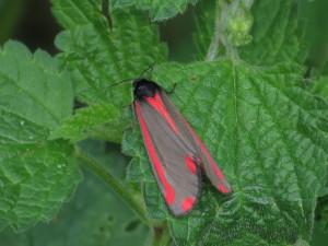 AR Cinnabar moth IMG_0003