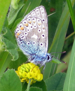 AR Common Blue butterfly  IMG_0020