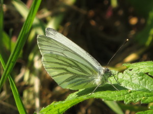 AR Green-veined White IMG_0005