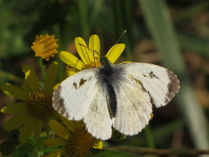 AR Orange tip fem IMG_0010
