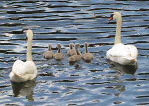 AR Swans IMG_0010